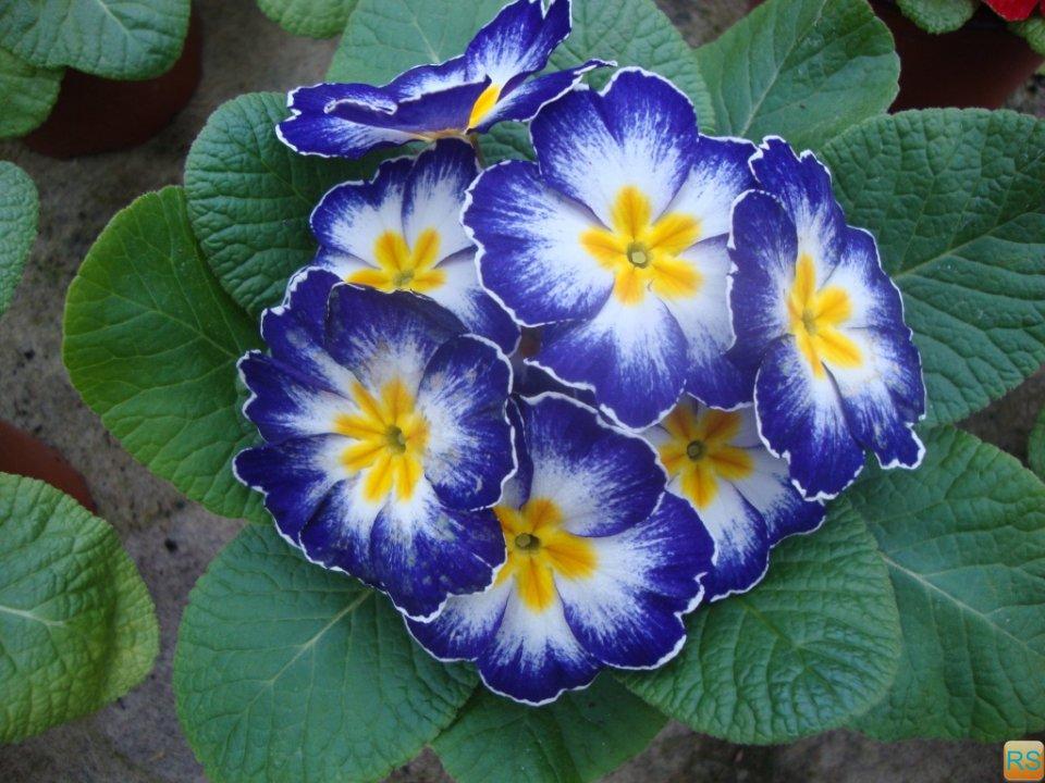 цветок примула фото: